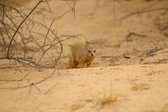 Yellow mongoose looks at camera, Kalahari desert Stock Photos