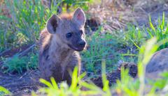 Spotted hyena cub looks up for mom, Kruger National Park, South Africa - stock photo