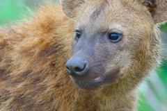 Portrait sub-adult spotted hyena looking, Kruger National Park, South Africa - stock photo