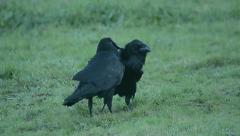 Stock Video Footage of raven, corvus corax