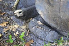 Lizard crawled on foot Aldabra giant tortoise - stock photo