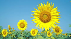 Double sunflowers shot which one blue, out of focus Stock Footage