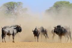 Blue Wildebeest herd shrouded in dust, Kalahari desert - stock photo