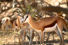 Springbok herd seek shade from the heat, Kalahari desert Stock Photos