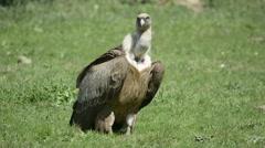 Griffon vulture Stock Footage