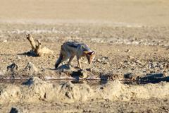 Black backed jackal looks into a waterhole, Kalahari desert - stock photo
