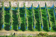 Rows of grapevines Stock Photos