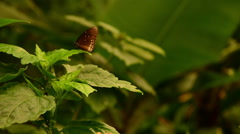 Panning shot with two Papilio Polytes butterflies Stock Footage