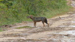 Wild jackal howls standing on the road Stock Footage