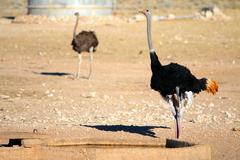 Ostrich pair at a waterhole in the Kalahari desert - stock photo