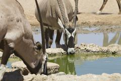 Two Gemsbok drink from a waterhole, Kalahari desert - stock photo