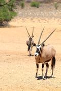 Two gemsbok on the dry sands of the Kalahari desert - stock photo