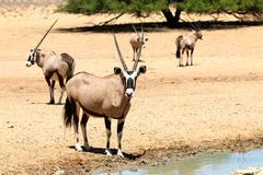 Gemsbok herd next to a waterhole, Kalahari desert - stock photo