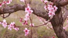 Spring blossom background - stock footage