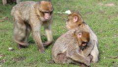 Beautiful Family of Young Monkeys Groom and Play - Barbary Macaques - stock footage
