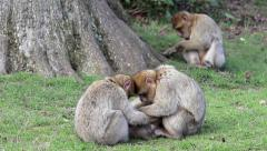 Beautiful Family of Young Monkeys Groom and Play - Barbary Macaques Stock Footage