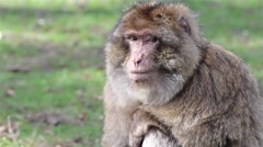 Beautiful Monkey Close Up - Barbary Macaques of Algeria & Morocco - stock footage