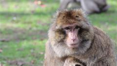 Beautiful Monkey Close Up - Barbary Macaques of Algeria & Morocco Stock Footage