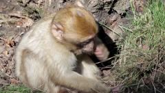 Baby Monkey Eating from Ground - Barbary Macaques of Algeria & Morocco Stock Footage