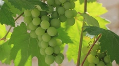 Growing wine grapes Stock Footage