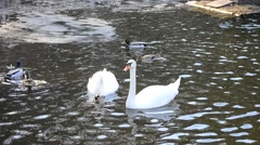 Cygnus olor. Two mute swans playing and biting each other Stock Footage