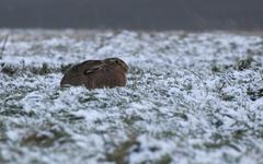 European Hare - stock photo