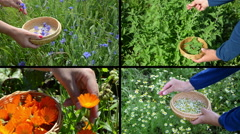 Hands gather herb plants. Alternative medicine. Clips collage Stock Footage