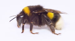 Close-up View of Bumblebee on white background. Full HD Stock Footage