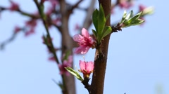 Nectarine branch with flowers Stock Footage