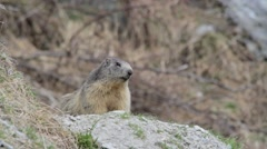 Alpine marmot near his burrow - stock footage