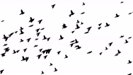Stock Video Footage of Flying birds