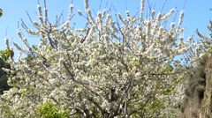 Cherry tree in bloom planted in terrace, tilt up to blue sky Stock Footage