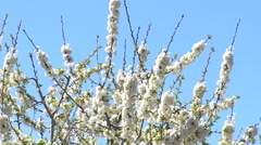 Detail on leafless branches full of flowers of a cherry tree Stock Footage