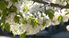 Close up of cherry tree flowers, detail Stock Footage
