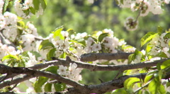 Close up of cherry tree flowers, forest on background Stock Footage