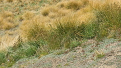New Zealand South Island tussock grass blowing Stock Footage