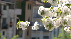 Close up of cherry tree flowers, tilt up Stock Footage
