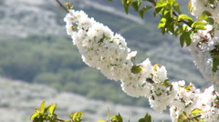 Close up of cherry tree branch full of flowers, shaken by the wind - stock footage