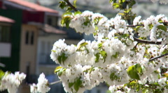 Close up of cherry tree flowers, houses on background Stock Footage