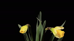 Yellow narcissus blossom buds ALPHA matte, FULL HD (Narcissus Ice Follies) Stock Footage