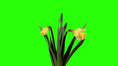 Yellow narcissus blossom buds green screen, FULL HD (Narcissus Ice Follies).  Stock Footage