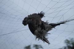 Birds were killed by net Stock Photos