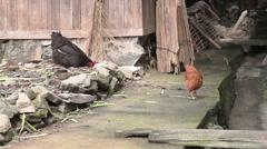 Walking chiken Stock Footage