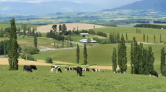 New Zealand MacKenzie cattle on rolling pasture with narrow poplars Stock Footage