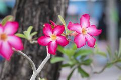 Adenium obesum Balf. or Desert Rose Stock Photos