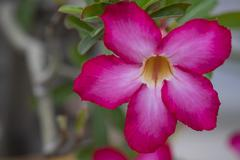 Adenium obesum Balf. or Desert Rose Stock Photos