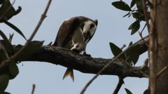 An Osprey bird of prey eating a fish Stock Footage