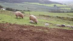 Two sow pigs and litter of piglets in a farm field Stock Footage