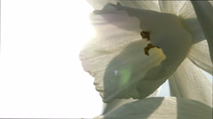 White daffodil CU against sun Stock Footage