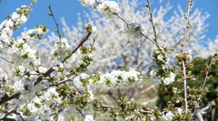 Cherry tree branches full of flowers move gently in the breeze Stock Footage